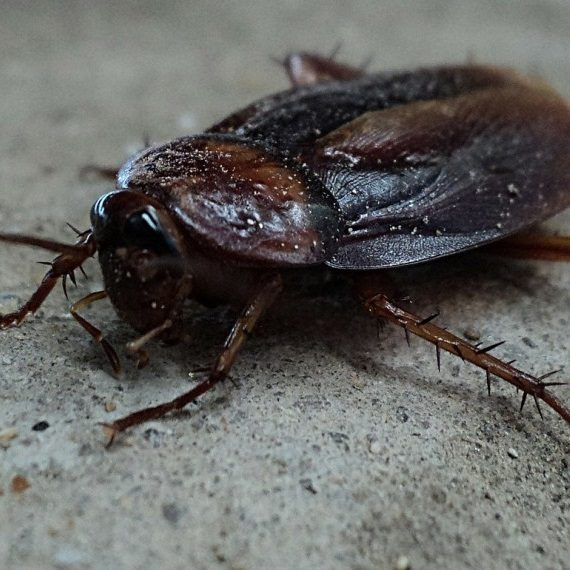 Cockroaches, Pest Control in Bellingham, SE6. Call Now! 020 8166 9746