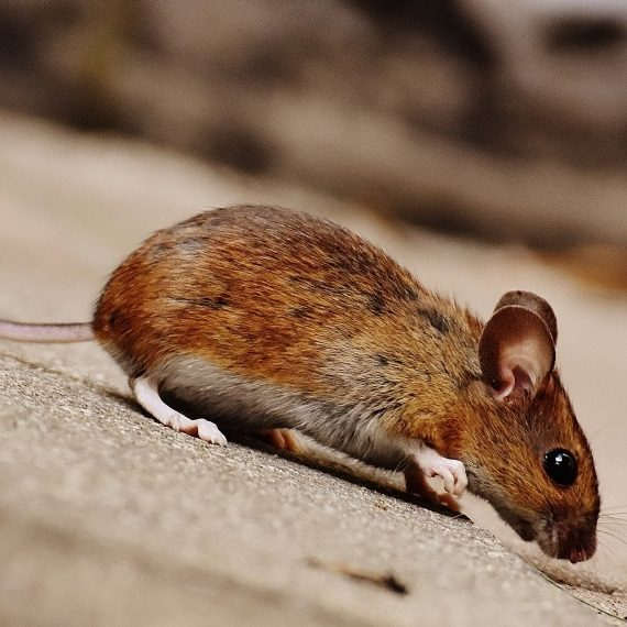 Mice, Pest Control in Bellingham, SE6. Call Now! 020 8166 9746