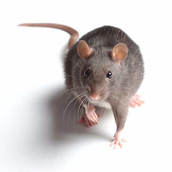 Rats, Pest Control in Bellingham, SE6. Call Now! 020 8166 9746