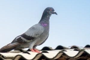 Pigeon Control, Pest Control in Bellingham, SE6. Call Now 020 8166 9746