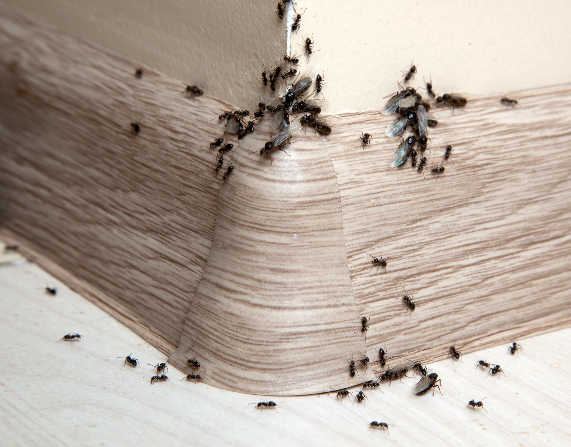 Ant Infestation, Pest Control in Bellingham, SE6. Call Now 020 8166 9746