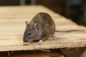 Rodent Control, Pest Control in Bellingham, SE6. Call Now 020 8166 9746